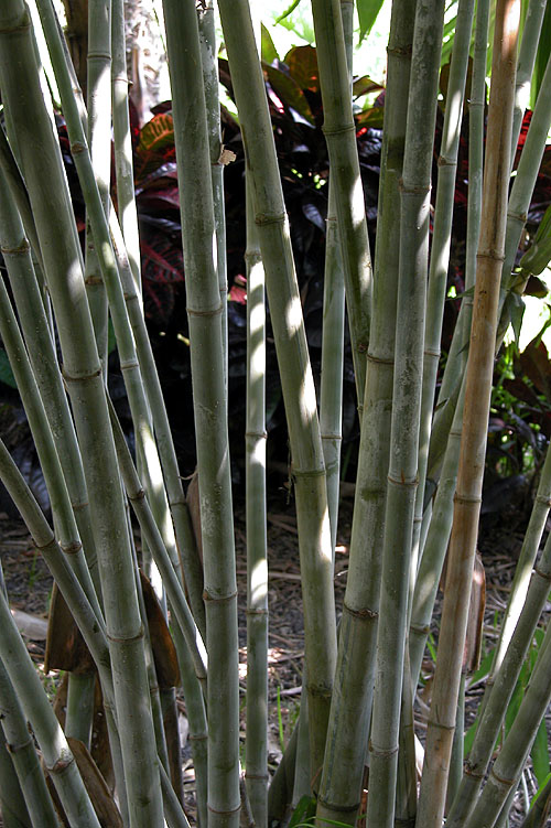 Stems of Blue Bamboo