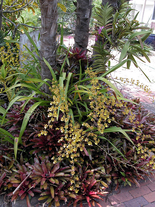 Oncidium Orchids and Fireball 'Frank Maitland'
