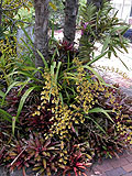 Fireball bromeliads with Oncidium orchids
