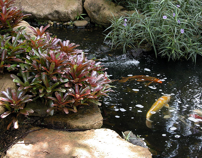 Koi Pond with Fireball Bromeliads
