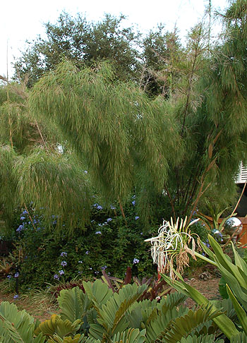 Mexican Weeping Bamboo