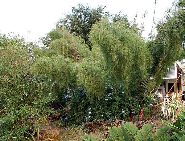 Mexican Weeping Bamboo in a Tropical Garden